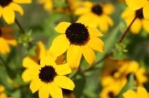 Black Eye Susans Small Photo